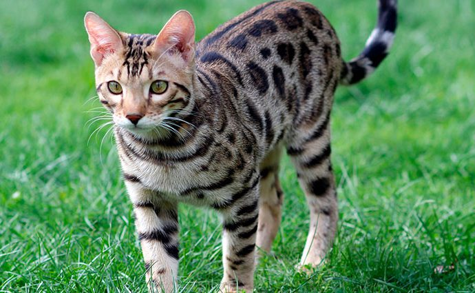 El gato Bengalí