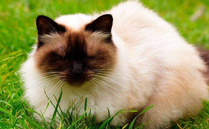El gato Himalayo
