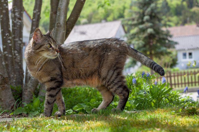 La bolsa primordial en el gato