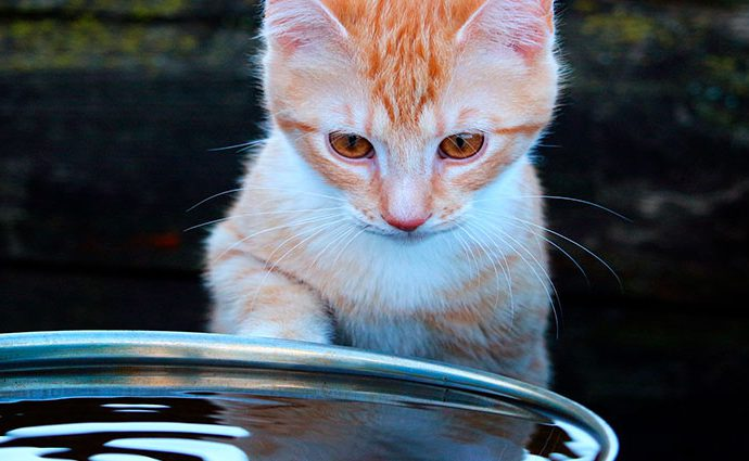 ¿Por qué a los gatos no les gusta el agua?