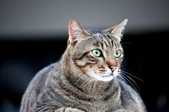 Trucos para saber si tu gato está gordo